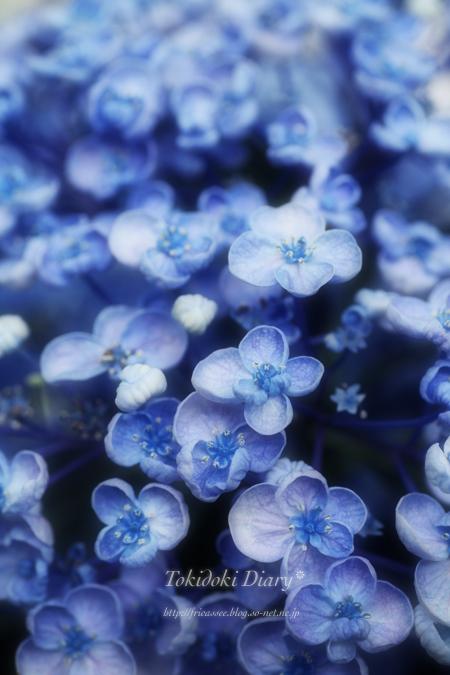 おたふく紫陽花2s.jpg