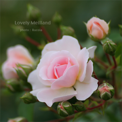 Lovely-Meilland.jpg