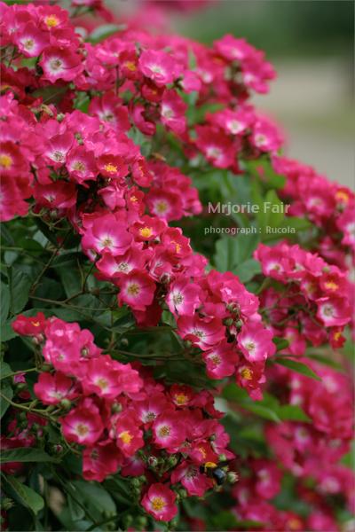Mrjorie-Fair.jpg
