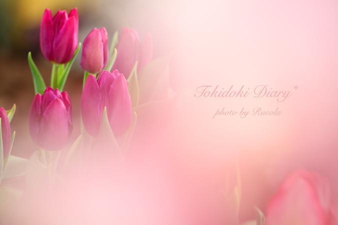 chulip-pink.jpg