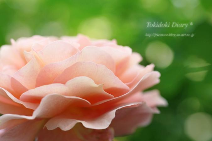 rose1-sonet-ss.jpg