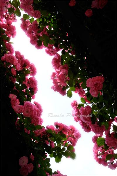 rose_gate.jpg