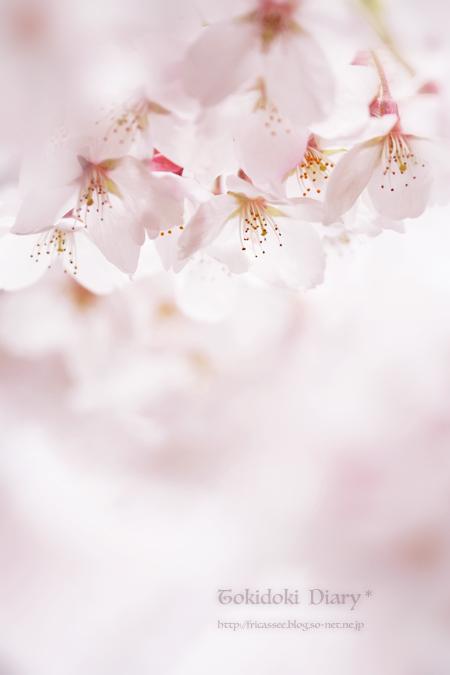 sakura-pastel-ss.jpg
