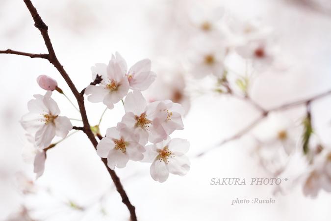 sakura-someiyosino.jpg